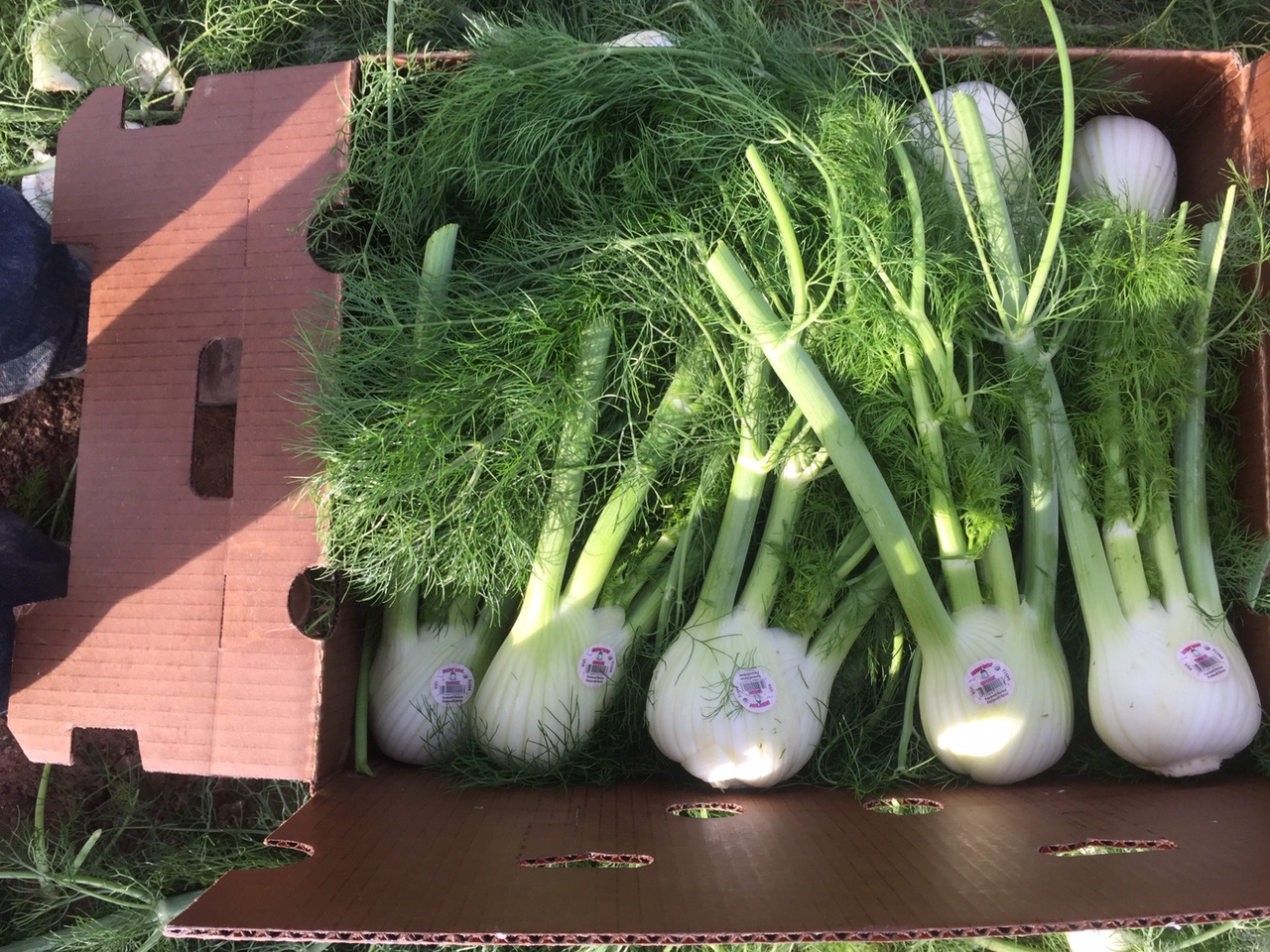 organic-fennel-anis-andy-boy